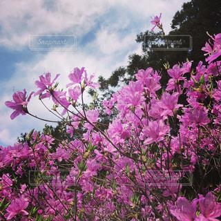 春爛漫のツツジの写真・画像素材[812298]