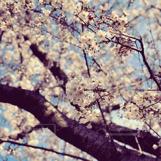 満開の桜の写真・画像素材[2180809]