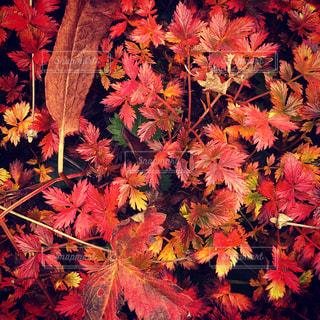 紅葉のじゅうたんの写真・画像素材[2466254]