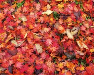 秋の地面は紅葉の絨毯の写真・画像素材[3607935]