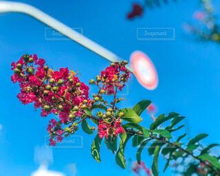 百日紅のクローズアップの写真・画像素材[3620522]