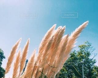 晴れた日の秋の始まりのススキの写真・画像素材[3726197]