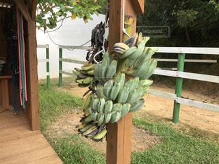 島バナナの写真・画像素材[1158731]