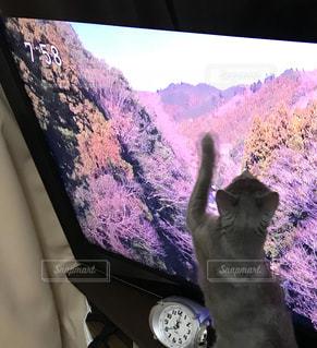テレビを観て反応する猫の写真・画像素材[984750]