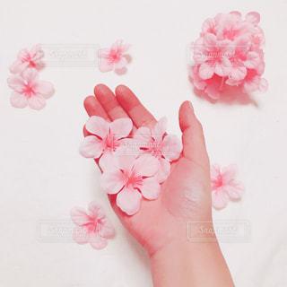 手の平の桜の写真・画像素材[995002]