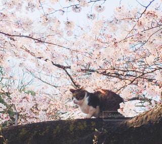 桜と猫 - No.1000734