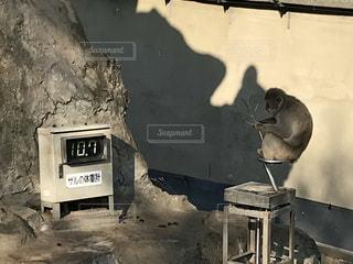 体重計に乗りエサを食べるサルの写真・画像素材[1001051]