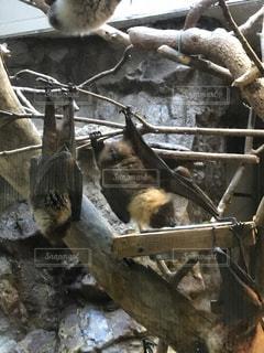 コウモリの写真・画像素材[1001056]