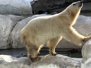 冬でも元気に泳ぐシロクマの写真・画像素材[1001089]