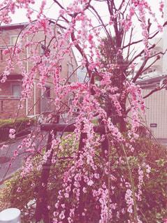 桜の写真・画像素材[1044509]