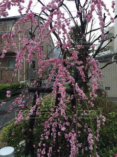 桜の写真・画像素材[1044510]