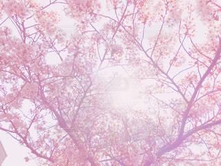 桜と光の写真・画像素材[1098968]