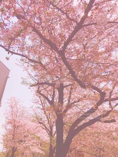 桜の写真・画像素材[1098969]