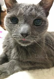 舌を出している猫の写真・画像素材[1101755]