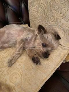 ソファーに横たわっている犬の写真・画像素材[3145451]