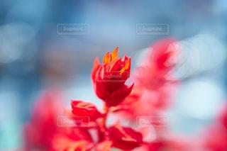 赤い花のアップ - No.810845