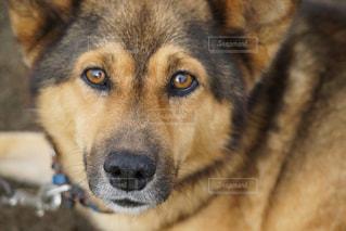近くにカメラを見て犬のアップの写真・画像素材[781589]