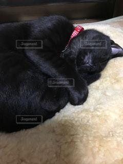 毛布の上で寝ている黒犬の写真・画像素材[780206]