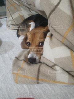 見つめる ビーグル犬の写真・画像素材[776471]