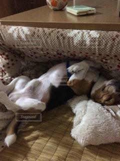 超リラックス ビーグル犬 - No.776473