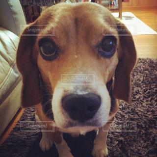 カメラ目線 ビーグル犬の写真・画像素材[776476]