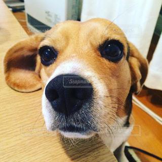 カメラ目線 ビーグル犬の写真・画像素材[776477]