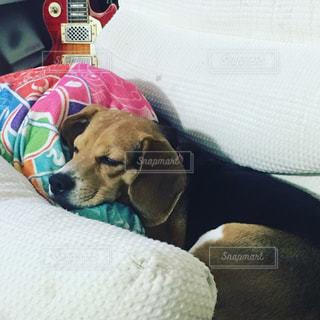 ソファー上に横たわるビーグル犬 - No.776479
