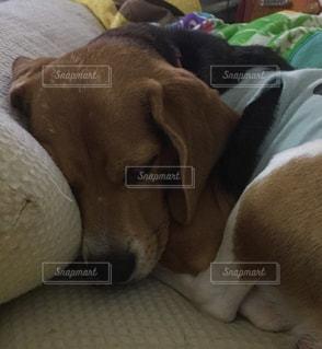 居眠りする ビーグル犬の写真・画像素材[779216]