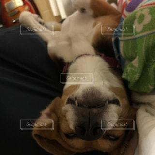 ビーグル犬の変顔の写真・画像素材[1535722]