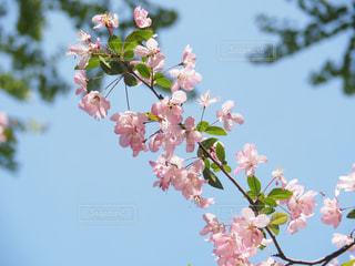 葉桜と青空の写真・画像素材[776525]