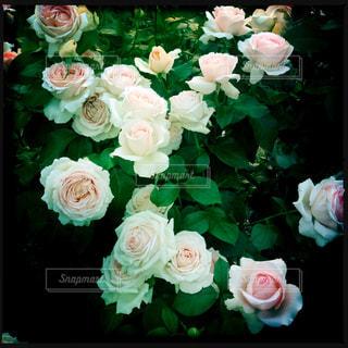 近くの花のアップの写真・画像素材[776798]