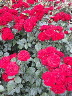 綺麗な薔薇の写真・画像素材[777005]