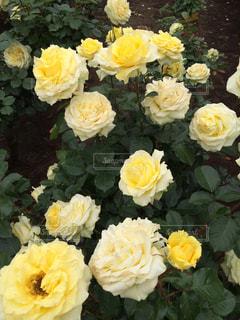 綺麗な薔薇の写真・画像素材[777007]