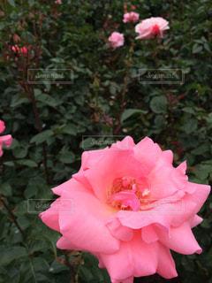 綺麗な薔薇の写真・画像素材[777008]