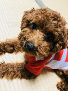赤白のラガーシャツを身に着けている犬の写真・画像素材[777927]