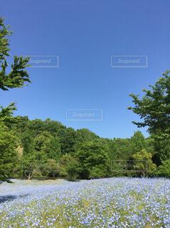 ネモフィラ畑の写真・画像素材[1353732]