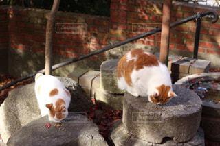 頬張る猫の写真・画像素材[930450]