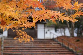 紅葉 - No.930467