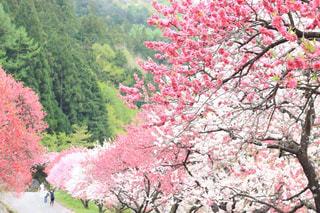 ピンクの花の木 - No.1055927