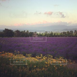 夕暮れ時のラベンダー畑 - No.777940