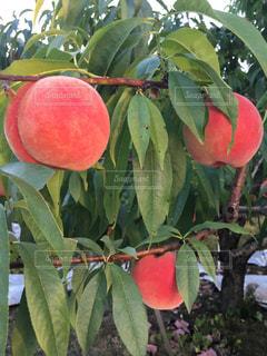 桃が熟したの写真・画像素材[1326330]