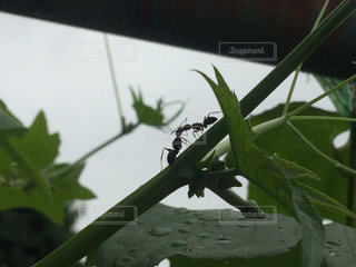 枝の上で対面するアリの写真・画像素材[778751]