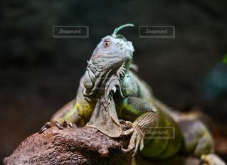 グリーンイグアナの写真・画像素材[778559]