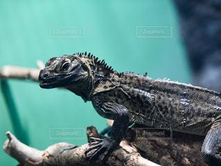 フィリピンホカケトカゲの写真・画像素材[778639]