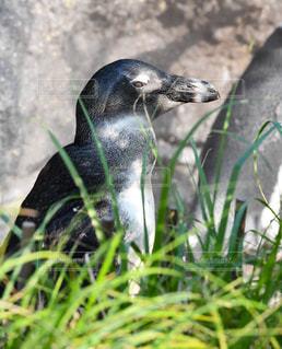 ペンギン - No.778668