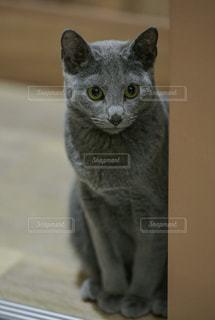 ジー〜つと見る猫の写真・画像素材[827908]