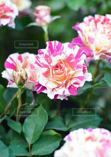 ピンクで白いバラの写真・画像素材[827935]