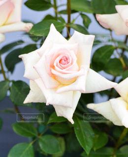 白いバラの写真・画像素材[827937]