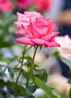 赤いバラの写真・画像素材[827938]