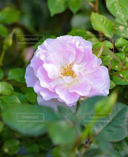 ピンクのバラの写真・画像素材[827939]
